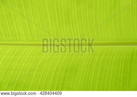 Close Up To Green Leaf Line Textrue Of Banana Leaf Background Abstract And Nature Background.