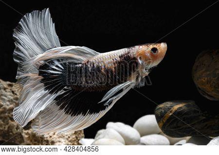 Siamese Fighting Fish,betta Splendens, Black With White And Orange Fish, Black Background, Halfmoon