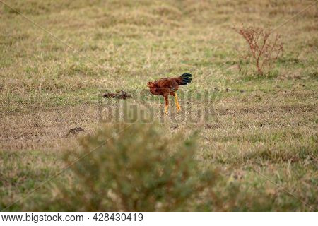 Domestic Animal Chicken