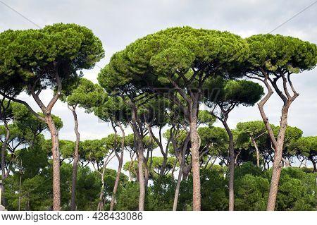 Stone Pine Trees, Botanical Name Pinus Pinea, Aka Italian Stone Pine, Umbrella Pine And Parasol Pine