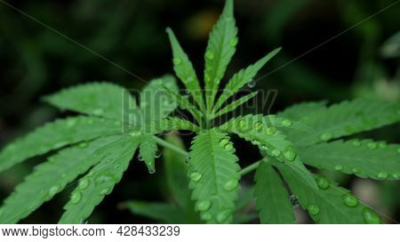 Young Cannabis Leaves In Fresh Water Drops, Sprinkled Foliage Of Marijuana Sprout, Irrigation And Wa
