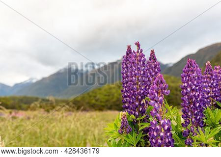 Arctic Lupines Blooming In The Southern Alps Of New Zealand
