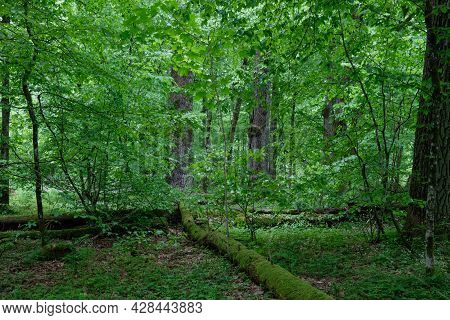 Natural Deciduous Tree Stand With Old Oak Trees And Hornbeam Around, Bialowieza Forest, Poland, Euro