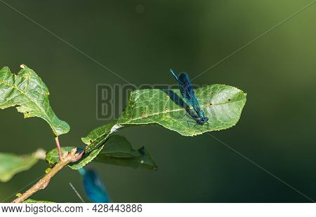 Banded Demoiselle (calopteryx Splendens) On Leag In Summer, Bialowieza Forest, Poland, Europe