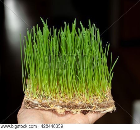 Sprouted Wheat Grains, Micro-green In The Hand Close-up. Sprouted Wheat Grains, Micro-green In The H