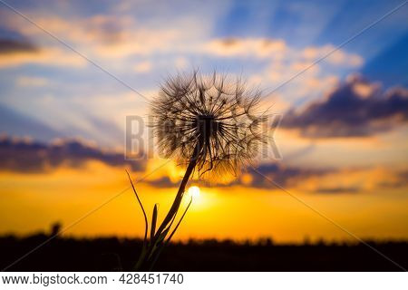 dandelion on the background of the evening sunset