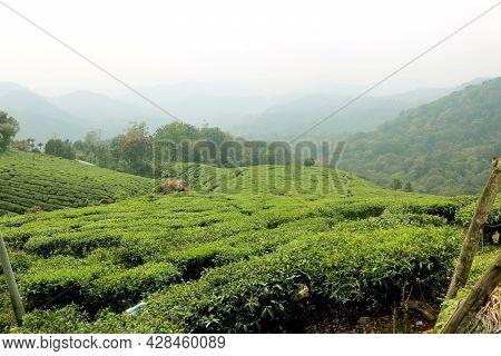 View Of Tea Plantation (tea Garden) At Kerala India View Of Tea Plantation (tea Garden) At Kerala In