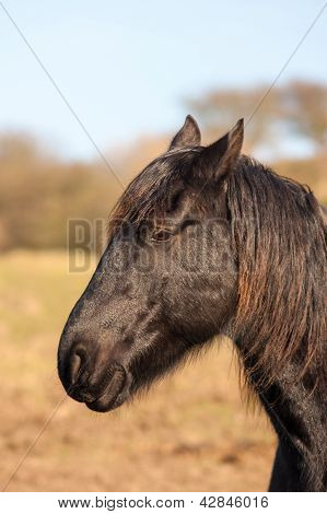 Profile Of A Black Horse