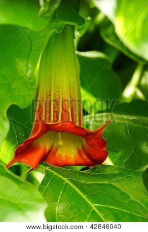 Red Angel's Trumpet / brugmansia sanguinea