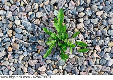 Unwanted Weed Growing Green In Gravel Path