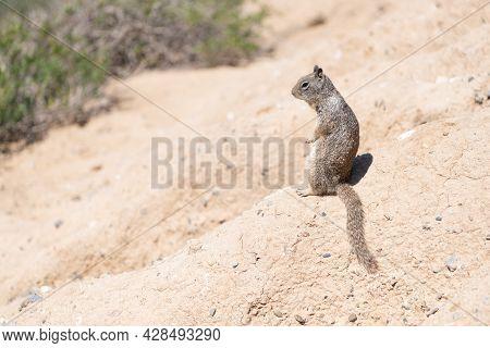 Fluffy Rodent. Squirrel Sits On Ground. Ground-squirrel In Natural Habitat. Ground Squirrel