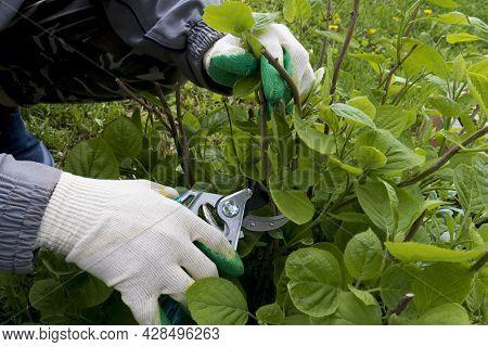A Gardener In Gloves Cuts Off Broken Branches On A Hydrangea Bush Garden Shears. The Concept Of Summ