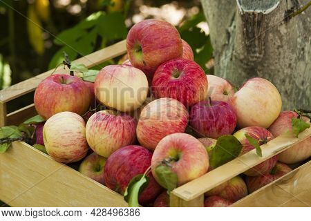 Melba Apples Are In A Box. Apple Harvest. A Crate Full Of Melba Apples Stands In The Garden. Harvest