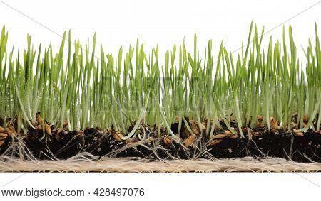 Soil With Wet Green Wheatgrass On White Background