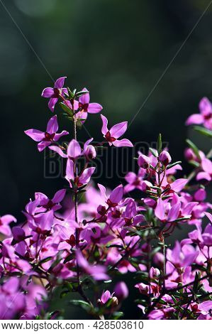 Backlit Pink Flowers Of Australian Native Boronia Ledifolia, Family Rutaceae. Growing In Sydney Wood