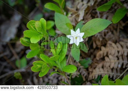 Beautiful White Forest Flower On A Background Of Green Forest Vegetation. Spring Forest Background.