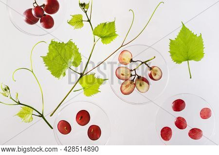 Petri Dishes With Grape Ingredients For Organic Grape Fruit Cosmetic Products Top View. Science Cosm