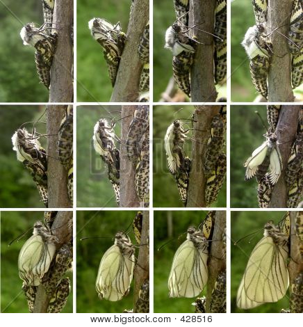 consistent stages of the butterfly (aporia crataegi) hatching from the pupa poster