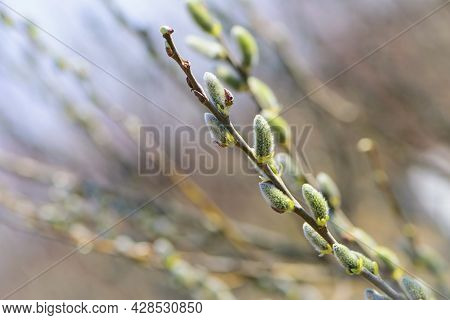 Fluffy Yellow Flowers Bloom On A Willow Branch. Yellow Flowers Of A Willow On A Branch In The Spring