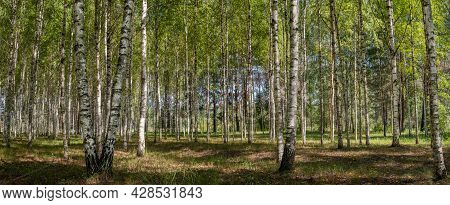Background Of Birch Forest Trees Green Spring Panorama