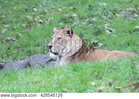 The Lion (panthera Leo) Is A Species Of Cats