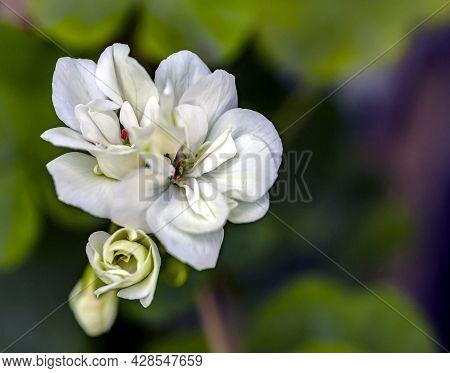 Beautiful Fresh Delicate White Geranium Flowers Outdoors