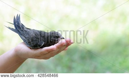 Common Swift Sitting In Girls Hand. Copy Space. Selective Focus