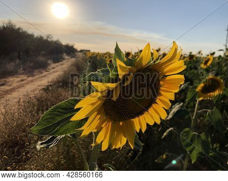 A Selective Focus Of The Beautiful Sunflower Gleaming Under The Sunrays