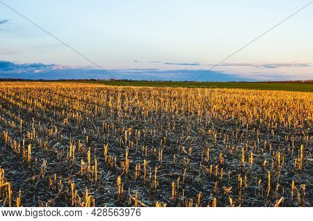 The Corn Field Is Left Fallow For Crop Rotation And Soil Improvement. The Vertical Rows Of The Short