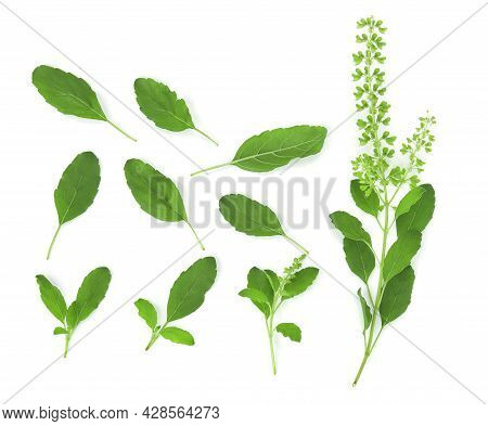 Top View Of Basil Isolated On White Background