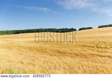 Slightly Hilly Field With Ripening Barley On A Background Of The Forest Belt And Sky With Clouds At