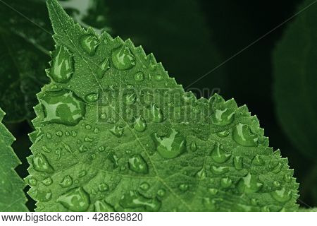 Large Carved Green Leaf In Drops Of Rain In A Spring Garden. Macro Photography With Selective Focus.