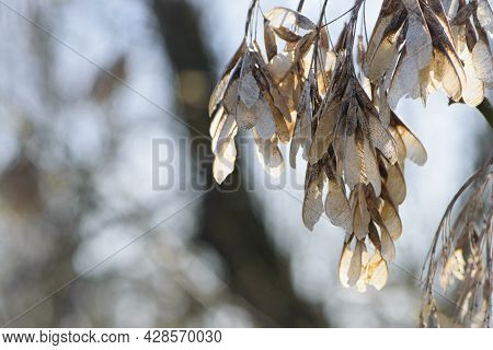 Acer, Seeds On A Branch. Acer Negundo. Hippocastanoideae, Family Aceraceae. American Maple Seeds On
