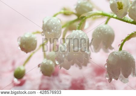 Spring White Flowers With Waterdrop. Lily Of The Valley Flower Close Up On Pink Background.