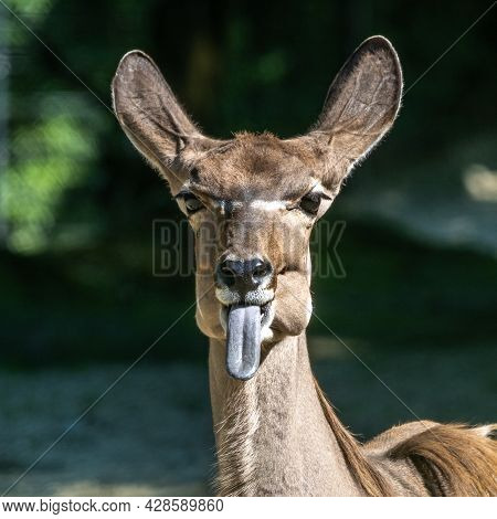The Common Eland Sticking Its Tongue Out. Taurotragus Oryx Also Known As The Southern Eland Or Eland