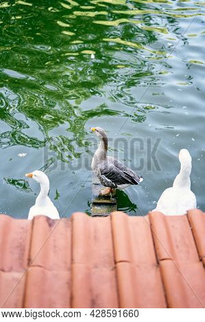 Ducks Stand On Perches In The Pond. Top View