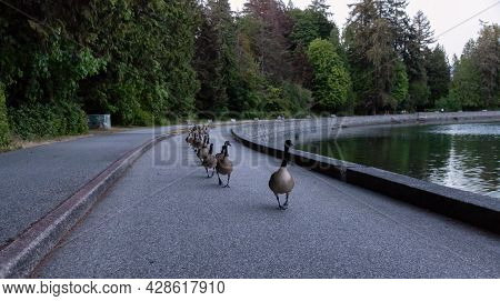 Herd Of Geese Walking On Seawall In Famous Stanley Park. Downtown Vancouver, British Columbia, Canad