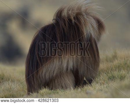 Side On Portrait Of Gelada Monkey (theropithecus Gelada) Huddled Hiding From Wind Semien Mountains,