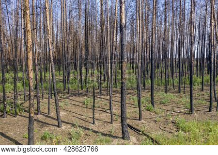 Pine Forest After The Fire, New Grass Is Sprouting. Drought Leading To Fires.