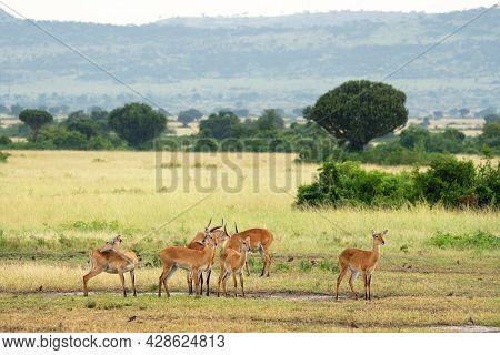 Uganda Kob (kobus Thomasi), National Parks Of Uganda