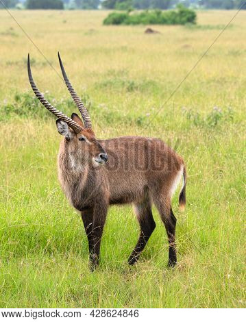 Defassa Waterbuck (kobus Defassa), National Parks Of Uganda
