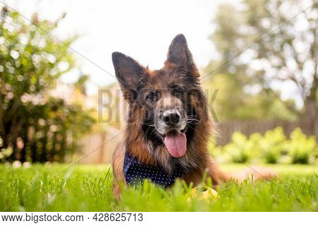 Portrait Of A German Shepherd Dog In A Garden. Purebred Dog Lying On The Grass.