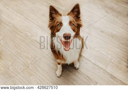 Portrait Happy Brown Border Collie Dog Looking Up And Smiling Against Wooden Floors
