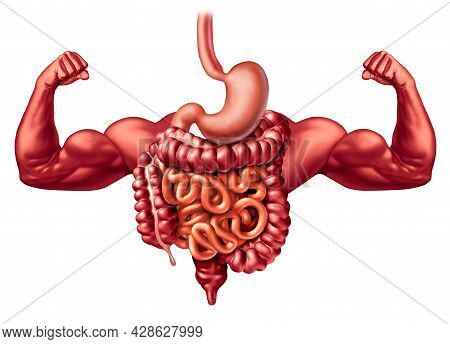 Healthy Digestive System Function As A Strong Digestion Anatomy Concept Including  A Stomach And Lar