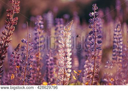 Bumblebee And Bush Of Wild Flowers Lupine In Summer Field Meadow At Sunset Sunrise. Lupinus, Commonl