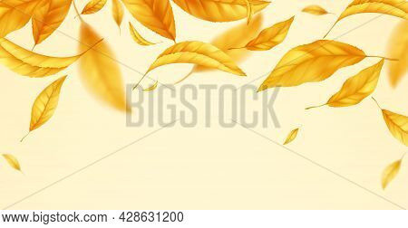 Falling Flying Autumn Leaves Background. Realistic Autumn Yellow Leaf Isolated On Yellow Background.