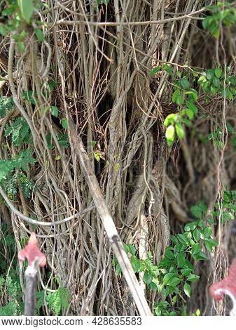 The Banyan Plants Of The Bantul Regency Office In Yogyakarta