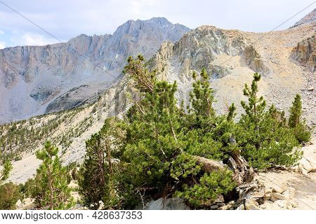 Alpine Pine Trees Shaped From The Wind At The Tree Line Overlooking Rugged Peaks Taken In The Sierra
