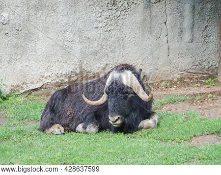Musk Ox Lies On A Green Lawn, Selective Focus, Copy Space