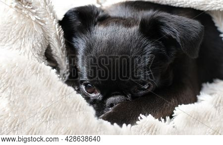 Portrait Of Black Puppy Dog, Brabancon With Funny Face On White Blanket Background. Sleeping Puppy D